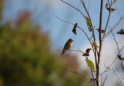 Gold finch on a small twig in fall