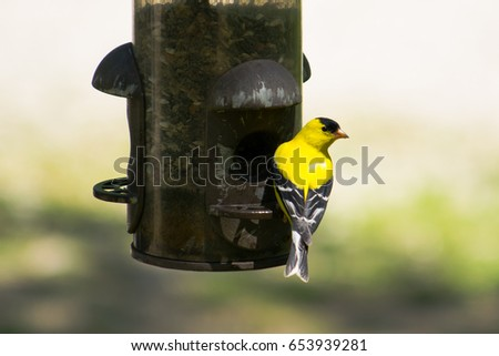 Gold Finch on the Feeder #653939281