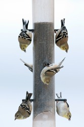 Gold finches feed on thistle seed at a feeder