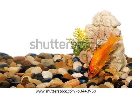 Gold fish in aquarium environment