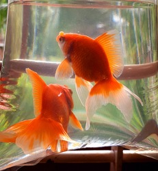 Gold fish in water. gold fish colour red and white mixed colours.