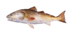 Gold fish  Red Drum (Sciaenops ocellatus). Isolated on white background