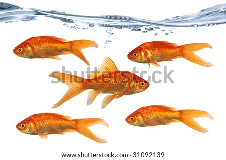 Gold fish swimming in one directions while one swims in the opposite direction