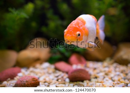 Gold Fish swims in the tank