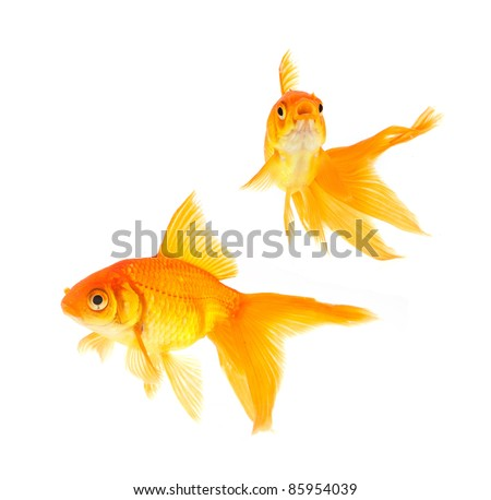 Gold fishes isolated on a white background
