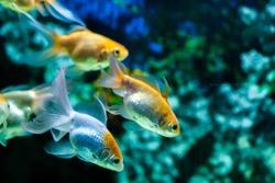 Gold fishes swimming in aquarium tank