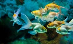 Gold fishes swimming in fresh water aquarium