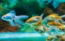 Gold fishes swimming towards one side in fresh water aquarium