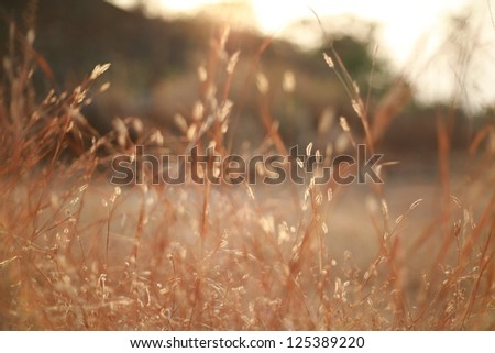 gold hay in Twilight background