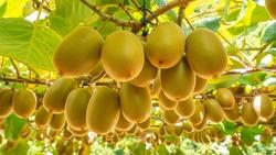 Gold kiwifruit ready for harvest