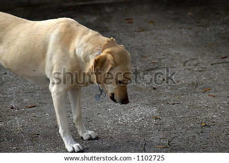 Gold labrador looking  at something on the ground.