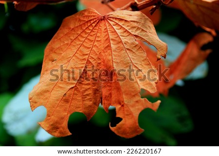 Gold leaf is ivy leaves a heart-shaped leaves, heart-shaped back.