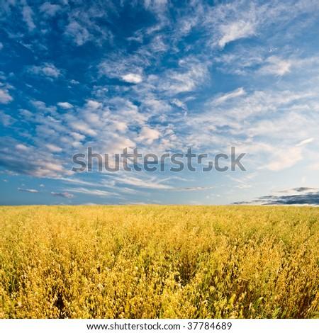 gold oats field under blue skies - stock photo