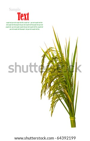 Gold paddy rice on white background