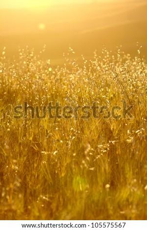 Gold wheat #105575567