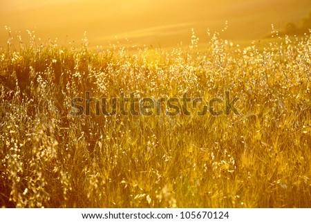 Gold wheat #105670124