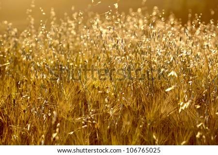 Gold wheat #106765025