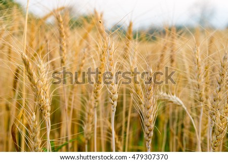 Gold wheat barley field and blue sky #479307370