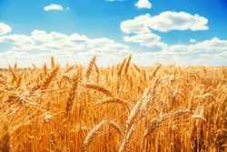 Gold wheat field and blue sky.