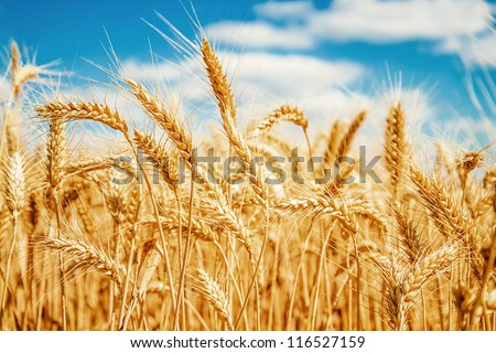 Gold wheat field and blue sky #116527159