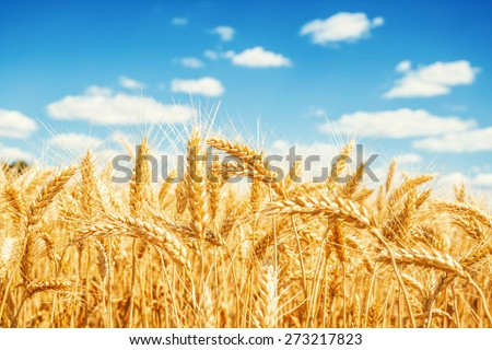 Gold wheat field and blue sky #273217823