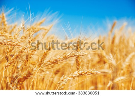 Gold wheat field and blue sky #383830051