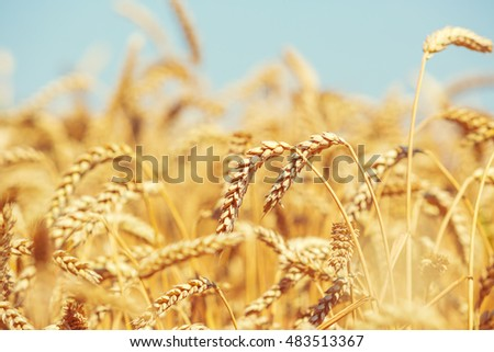 Gold wheat field and blue sky #483513367