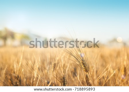 Gold wheat field and houses afar #718895893