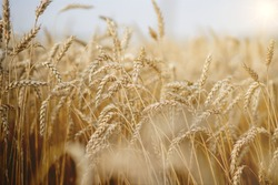 Gold Wheat Field. Beautiful Nature Sunset Landscape. Background of ripening ears of meadow wheat field. Concept of great harvest and productive seed industry
