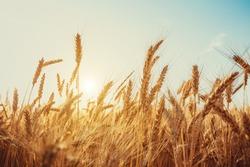 Gold Wheat Field. Beautiful Nature Sunset Landscape. Background of ripening ears of meadow wheat field