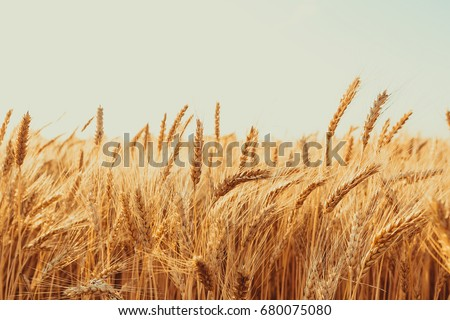Gold Wheat Field. Beautiful Nature Sunset Landscape. Background of ripening ears of meadow wheat field. stock photo