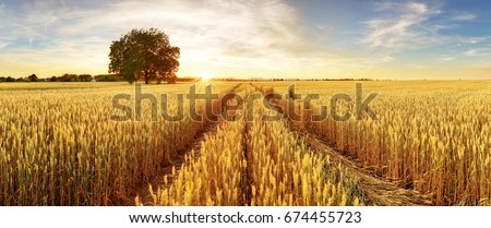 Gold Wheat flied panorama with tree at sunset, rural countryside #674455723