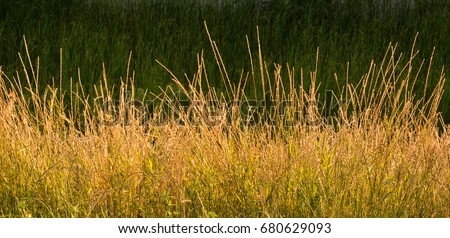 Gold Wild Grass Background stock photo