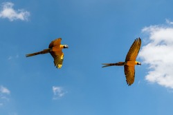Golden and blue macaw parrots (Ara ararauna) flying in the air.