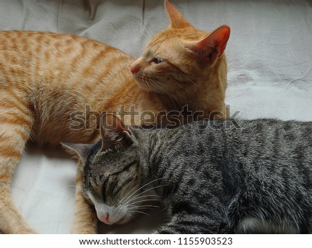 Golden and grey coloured cats are best friends