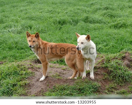 golden and white dingos