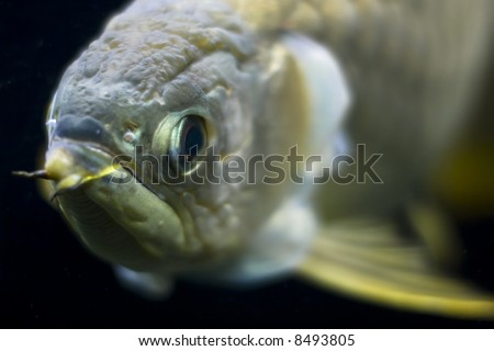 golden arowana close up