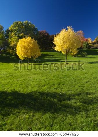 Golden ash trees in autumn