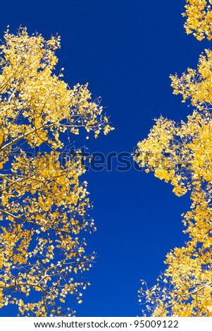 Golden aspen leaves contrast against the blue sky.