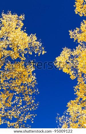 Golden aspen leaves contrast against the blue sky.