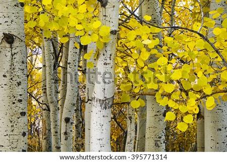 Golden aspens at autumn