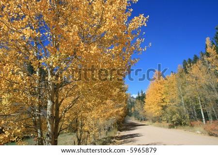 Golden Aspens in Colorado in the Fall
