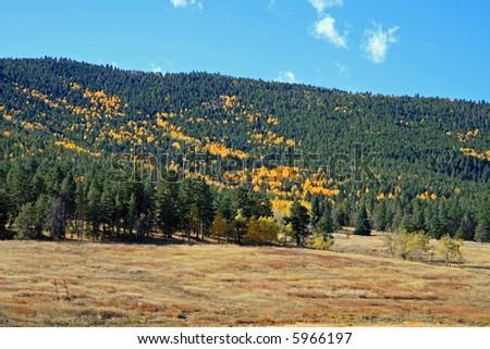 Golden Aspens in Colorado near Conifer, in the Rocky Mountains