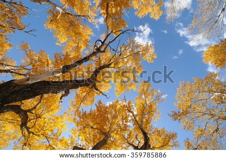 Golden Autumn - Ash trees with golden leaves against blue sky, Autumn, in Golden Colorado, USA. #359785886