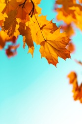 Golden autumn concept with copy space. Sunny day, warm weather. Autumn yellow leaves on blue sky background