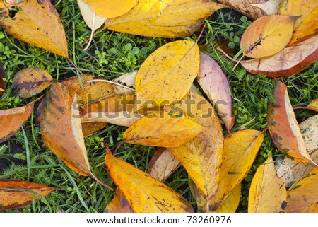 Golden autumn leaves laying on the ground