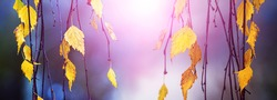 Golden autumn leaves on a colorful background. Birch branches with yellow leaves on a blurred background in sunny weather