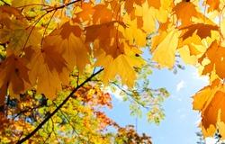 Golden autumn maple leaves view. Autumn maple leafs background. Autumn maple leaves. Maples leaves in autumn