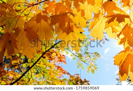 Photo of  Golden autumn maple leaves view. Autumn maple leafs background. Autumn maple leaves. Maples leaves in autumn