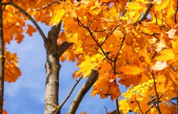 Golden autumn maple leaves view. Maple leaves in autumn. Autumn maple leafs